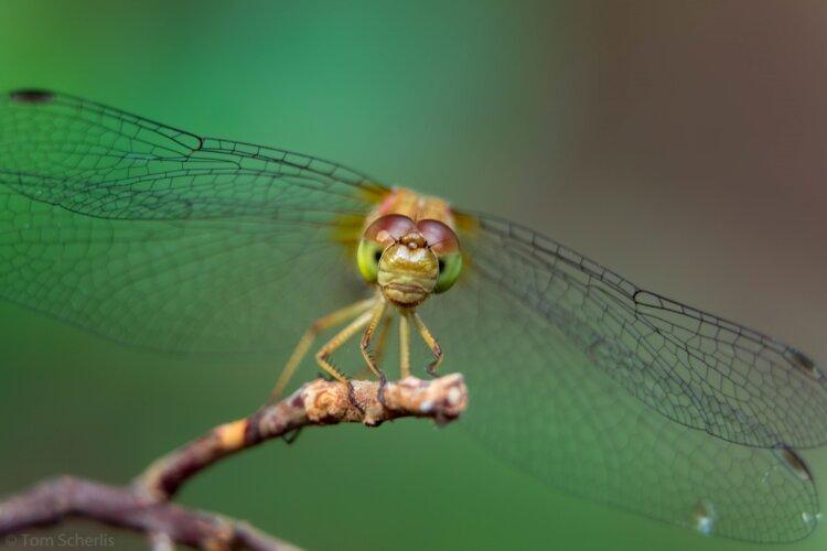 Tom Scherlis Dragonfly-0070