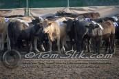 Lynn & Sam Team Cow Sorting 5-18-2016 0011