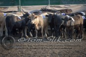 Lynn & Sam Team Cow Sorting 5-18-2016 0011
