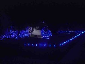 Picture of Blue LED Xmas Lights Outdoors, house front fence with C9 LED bulb strings, and miniature blue LEDs, wrapped around big blue spruce tree trunks.