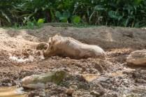 A warthog!