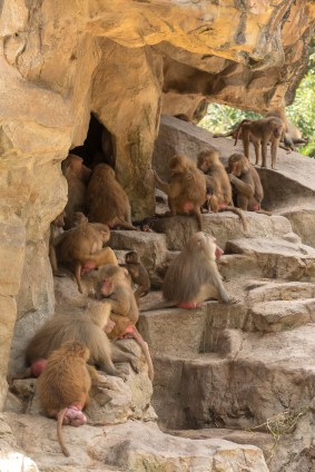 Baboons in their habitat at the zoo