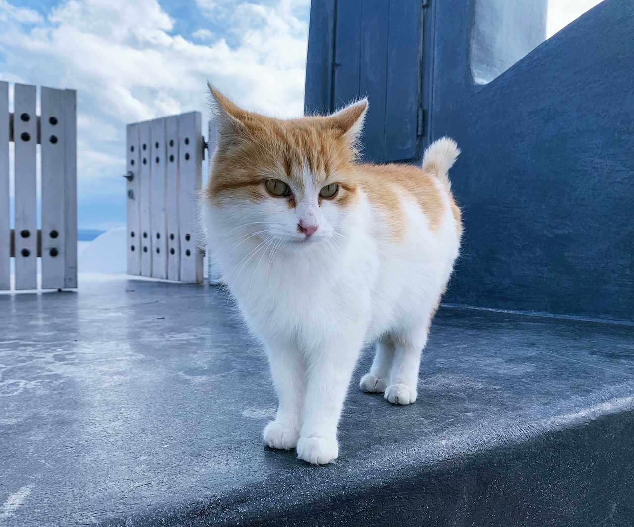 サントリーニ島のイアの猫