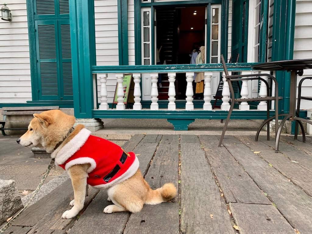 神戸異人館街のスタバの柴犬