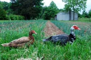 ducks & onions