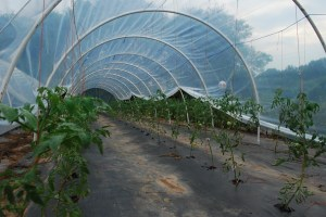 Sauce and salad tomatoes trellised in caterpillar tunnel