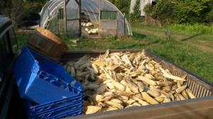 corn&squashFall2014