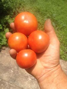 tomatoes_June2016