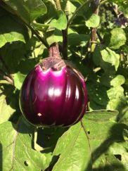eggplantprosperosa_sept2016