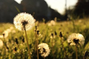 Dandelions. CC0 Public Domain license.