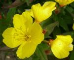 geltonos_gėlytės
