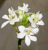 balta_orchidėja