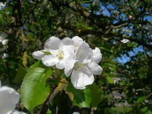 pavasariški_obels_žiedai_Agnusyte_foto