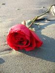 rožė_smėlyje