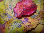 rudeniniai_obels_lapai_Agnusyte_foto