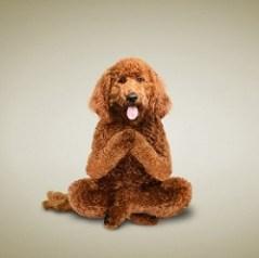 joga šunys