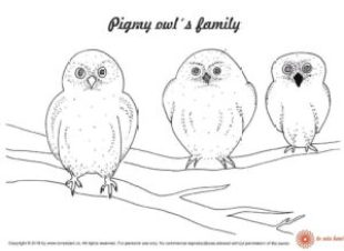 Pigmy owl family