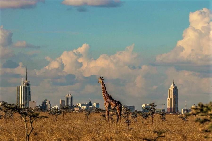 A giraffe in Nairobi National Park with Nairobi City in the backdrop