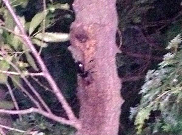 クヌギの木の樹液を吸うカブトムシの♂