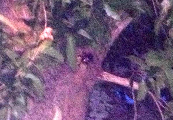 クヌギの樹液を吸うカブトムシの♂
