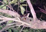 10匹確認!熱帯夜が続く週末以降はカブトムシ・クワガタが大量発生?