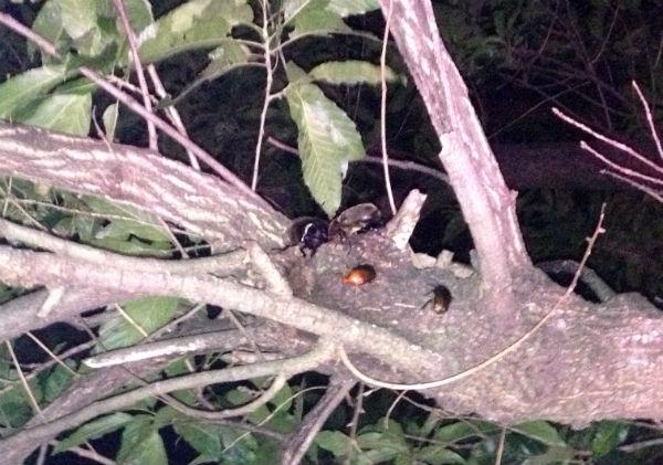 クヌギの樹液を吸うカブトムシのペア