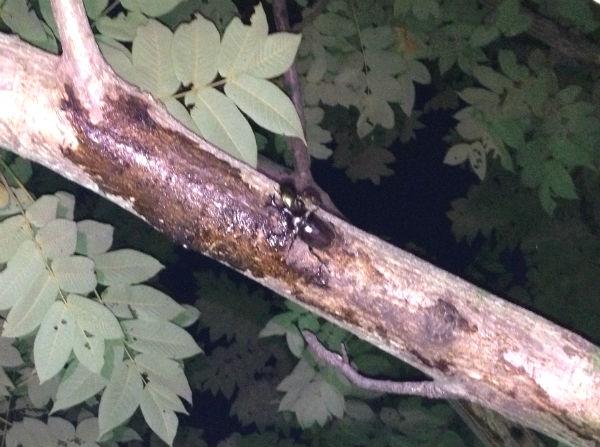 河川敷のカブトムシのオス