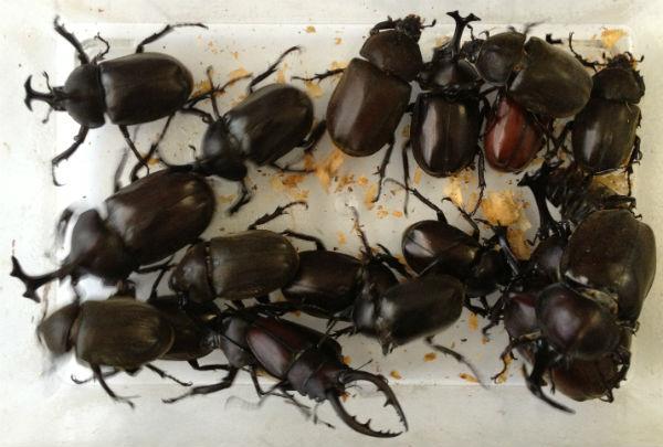 7月19日早朝に採集したカブトムシとノコギリクワガタ