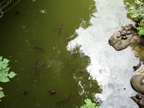 明治神宮の北池の鯉と亀