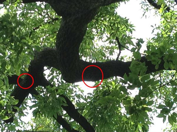 明治神宮のクヌギの木に掴まるカブトムシ