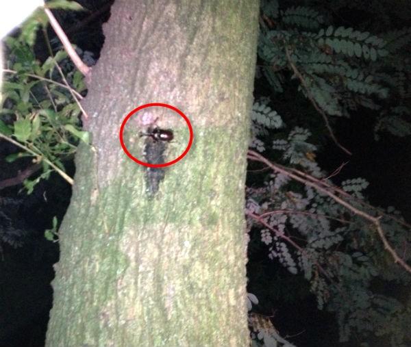 雑木林のクヌギの樹液を吸うカブトムシのオス