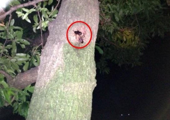 雑木林のクヌギの樹液を吸うカブトムシのオスとノコギリクワガタのメス