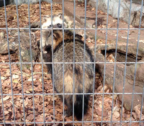 ホンドタヌキ 野毛山動物園