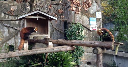 レッサーパンダ 野毛山動物園