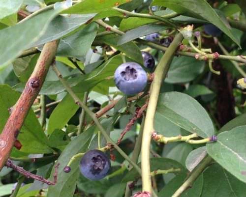 ブルーベリー狩り 黒い実