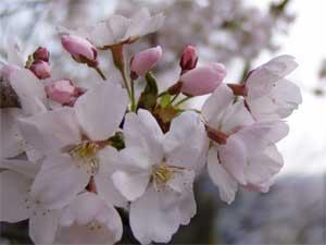 Sakura Of Satsukiyama2005 1