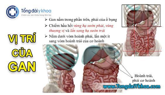 vị trí của gan liver position