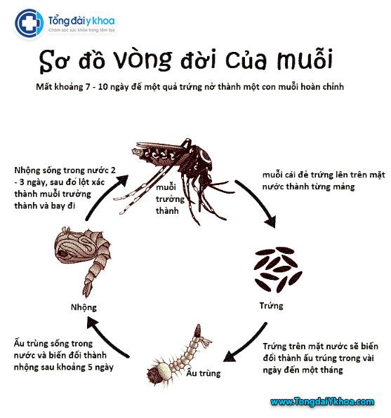 Sơ đồ vòng đời của muỗi