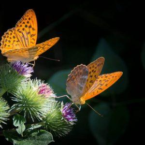 fritillary butterfly massage gift card for massage Denver massage Boulder