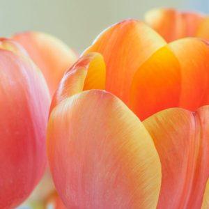 orange tulips massage gift card