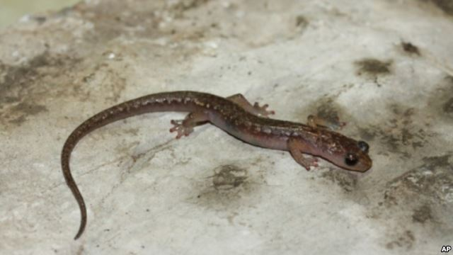 This is a Cave Splayfoot salamander. (Sean Rovito 2006)