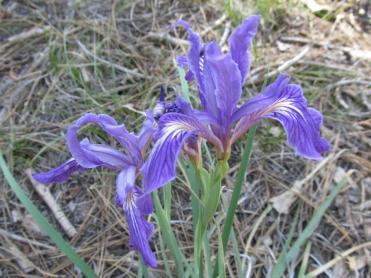 Hartweg's Iris