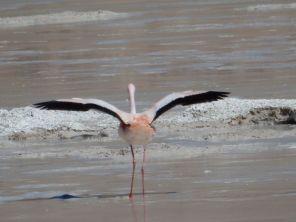 Flamingo beim Vulkan Galan - Ein Modell