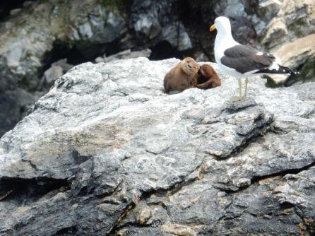 Seeotter mit Möwe bei Punta de Choros