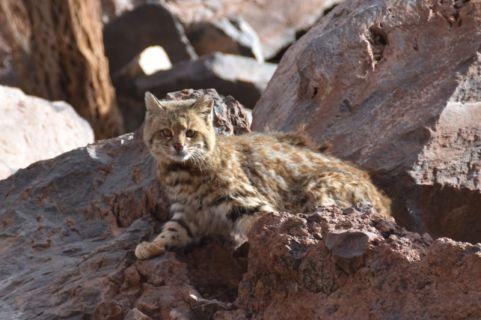 Langschwanzkatze (Leopardus wiedii), auch Peludo, Margay, Bergozelot oder Baumozelot)