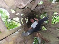 Der Ficus ist ein Parasit, er umschlingt den Baum, stranguliert ihn, der stirbt ab, vermodert - der Ficus bleibt wie eine Konstruktion übrig. Dieser hiet ist über 200 Jahre alt.