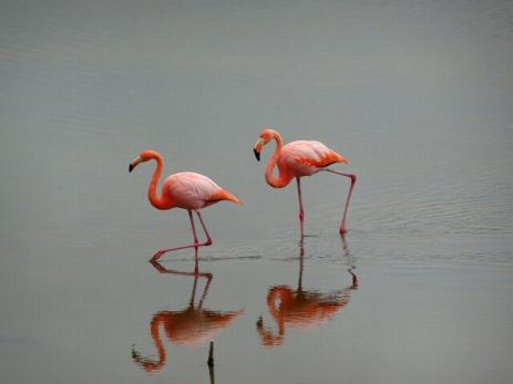 Flamingos in Isabela
