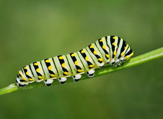 larvae Black Swallowtail