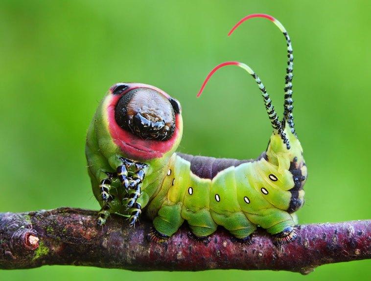 larvae Cerura Vinula