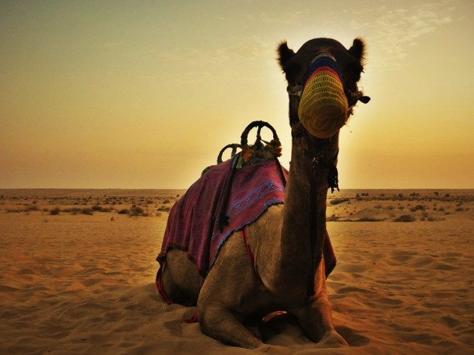awesome-vacation-wedding-proposal-ideas-dubai-camel